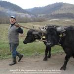 Attelages Roumains Yack (Copier)